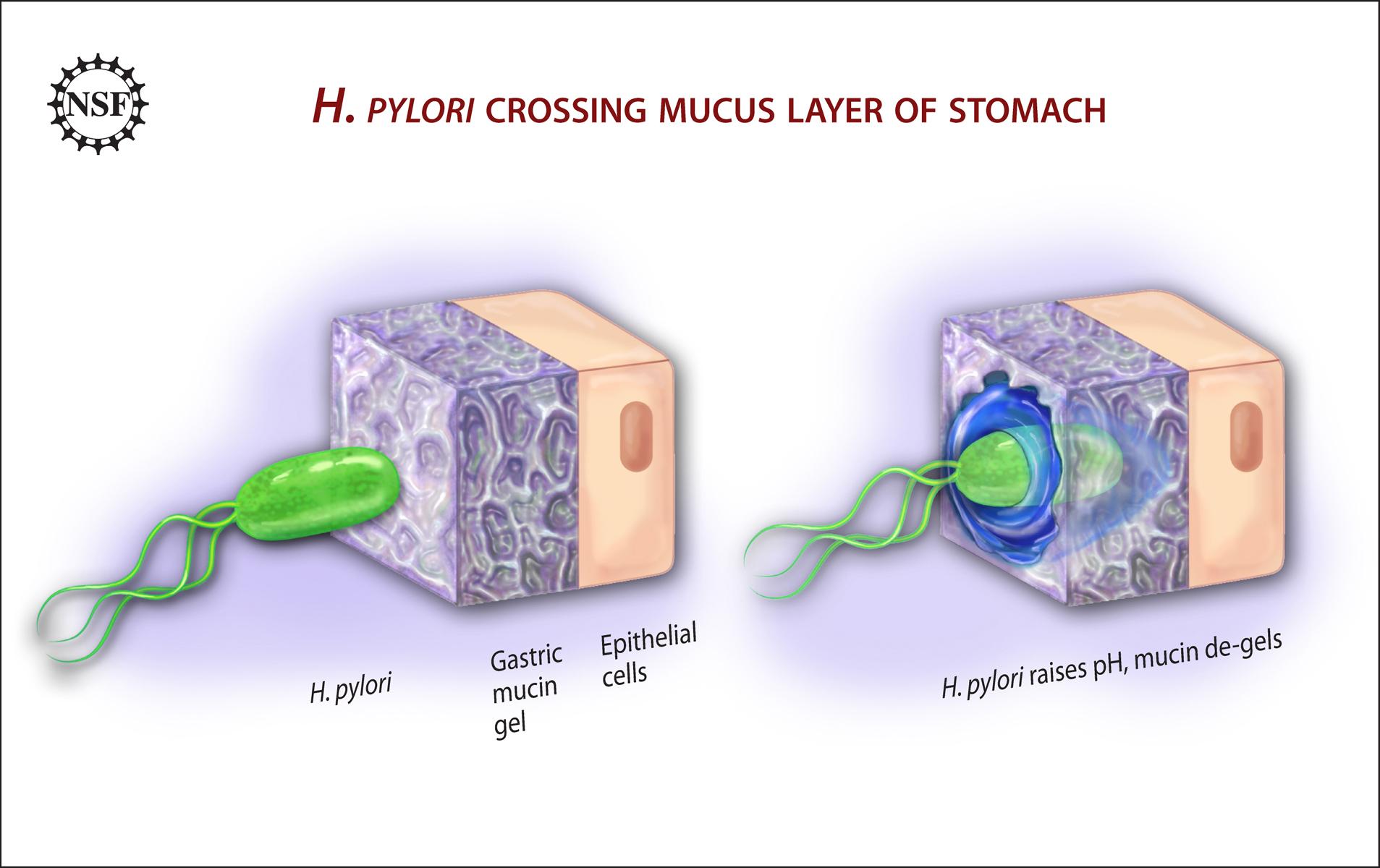 Bacteria Motilit...H. Pylori